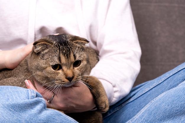 Le chat scottish fold est assis dans ses bras. l'animal se cache entre les mains du propriétaire.