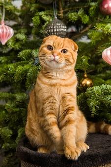 Chat scottish fold est assis près de l'arbre de noël