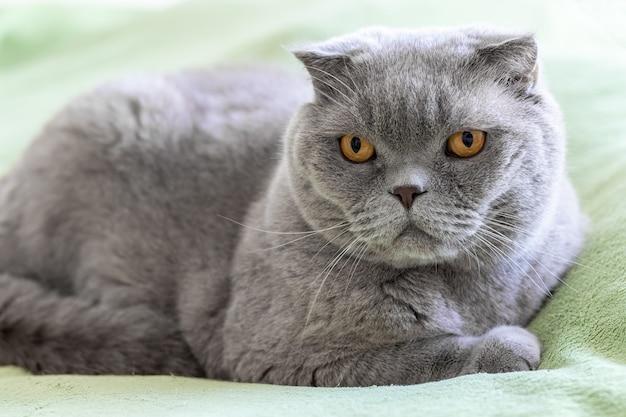 Chat scottish fold gris aux yeux orange sur un canapé vert tendre