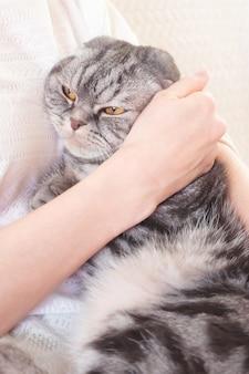 Chat scottish fold gris entre les mains d'une femme