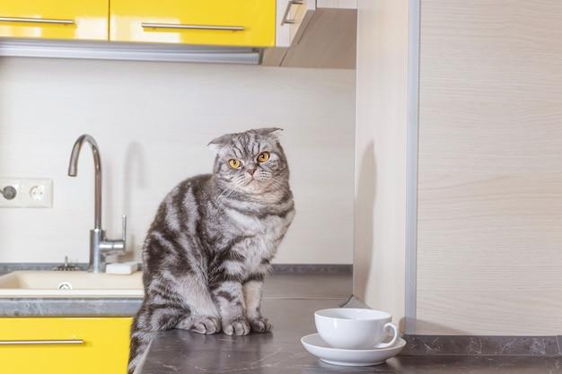 Un chat scottish fold gris est assis sur une table dans la cuisine. le concept de sevrer les animaux de compagnie de grimper sur la table.