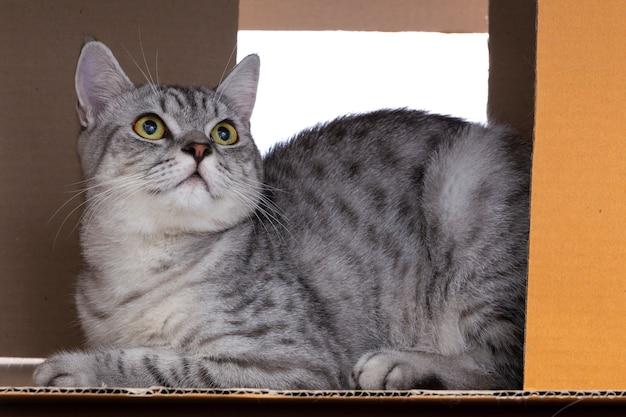Chat scottish fold jouant seul dans la boîte à papier