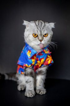 Le chat scottish fold porte une chemise à fleurs.