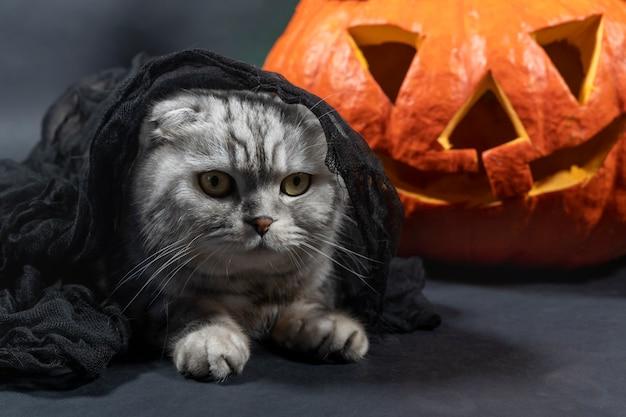 Un chat scottish fold de race pure en voile noir se trouve dans le contexte de jack o lantern.