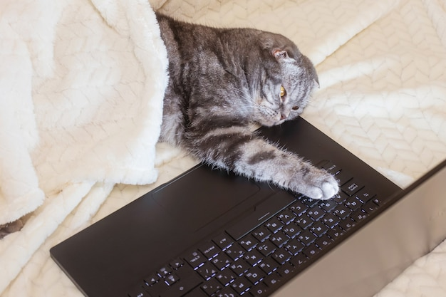 Un chat scottish fold rayé noir et gris aux yeux jaunes se penche sur un moniteur d'ordinateur portable en position couchée sur un canapé