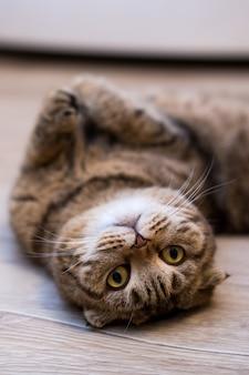 Chat scottish fold roulant sur le sol à la maison