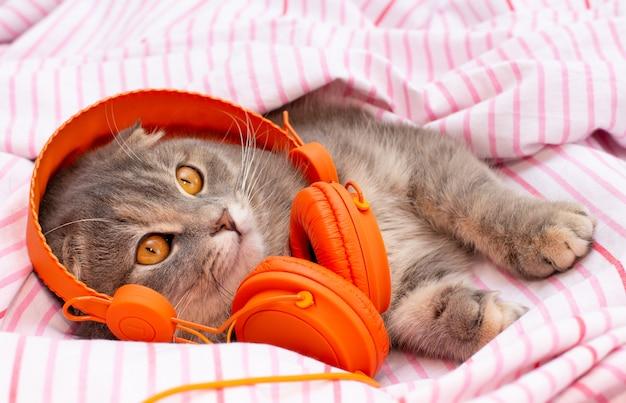 Le chat scottish fold se trouve dans les écouteurs et a l'air drôle sur le lit chat écoutant de la musique.
