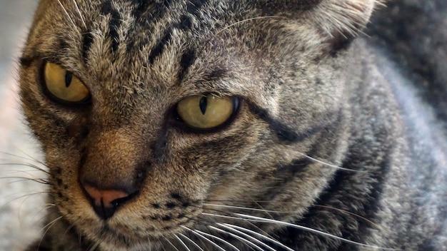 Le chat se concentre sur les yeux et le visage.