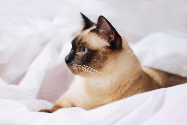 Chat Siamois Assis Sur Le Drap Blanc Photo Premium