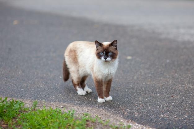 Chat siamois marchant sur le trottoir à la recherche de savoureux