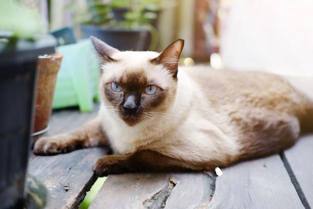 Chat siamois se détendre sur un plancher en bois avec la lumière du soleil dans un jardin naturel