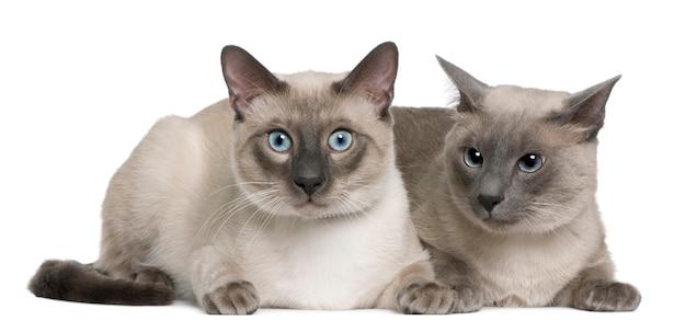 Chat siamois et vieux, allongé devant un fond blanc