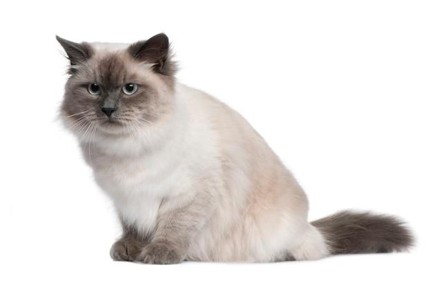 Chat sibérien, assis en face de fond blanc