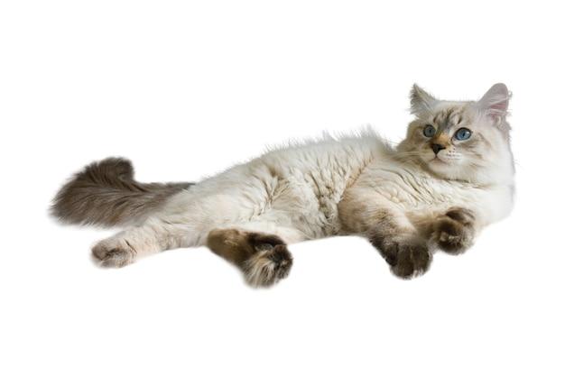 Chat sibérien neva masquerade, chaton de 9 mois, avec de beaux yeux bleus, couché, regarde de côté, isolé sur fond blanc