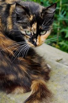 Chat sorcière tortue tricolore aux yeux jaunes sur l'herbe verte, vue de dessus