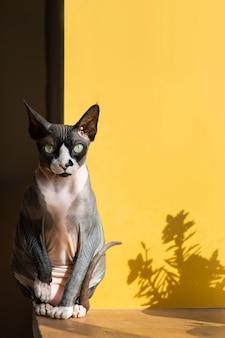Chat sphinx assis sur un rebord de fenêtre
