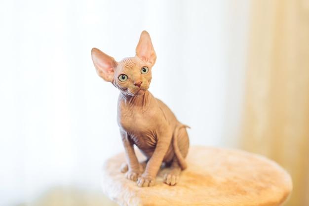 Chat sphinx sans poils.