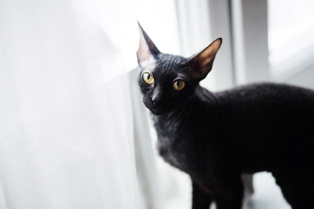 Chat sphynx drôle debout sur le rebord de la fenêtre