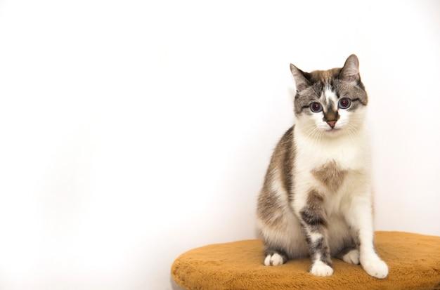 Un chat tacheté sur fond blanc. un beau chaton tricolore. un chat bâtard aux yeux bleus.