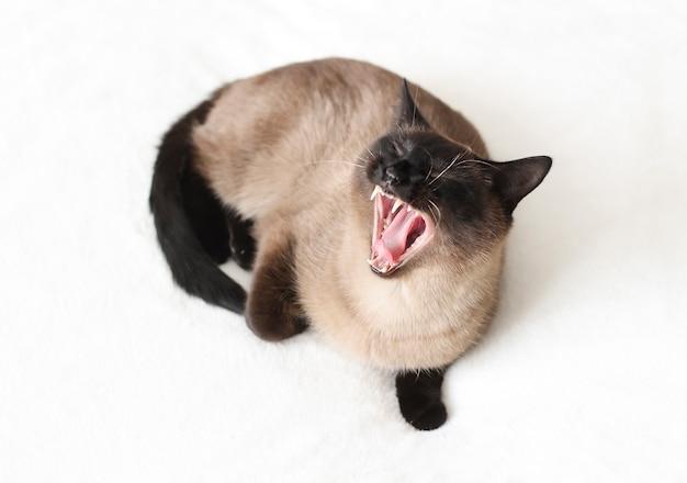 Un chat thaï aux yeux bleus se trouve sur le canapé et bâille le chat a ouvert la bouche