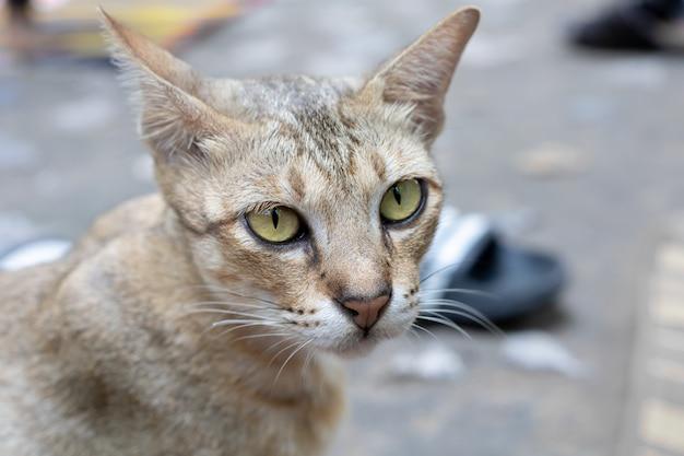 Chat thai si mignon aux yeux jaunes.