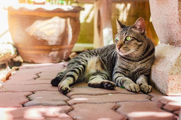 Chat thaïlandais, bel animal à la maison.
