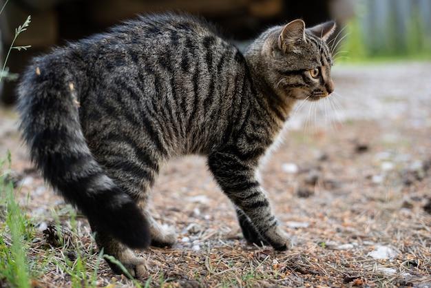 Chat tigré dans une position agressive, dans la rue