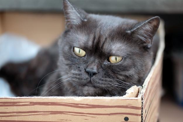 Le chat tigré gris mignon s'étend dans la boîte en carton