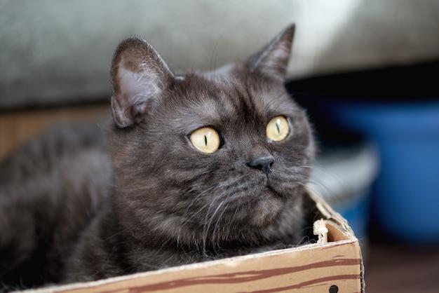 Le chat tigré gris mignon se repose dans la boîte en carton