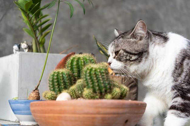 Chat tigré renifle un cactus dans un pot d'argile verdoyante