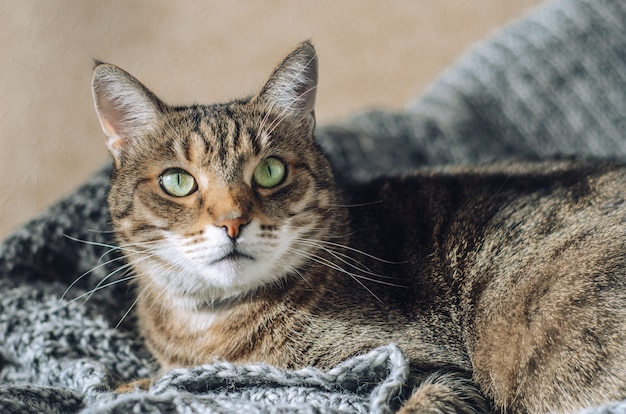 Chat tigré se trouve sur une couverture tricotée grise au soleil.