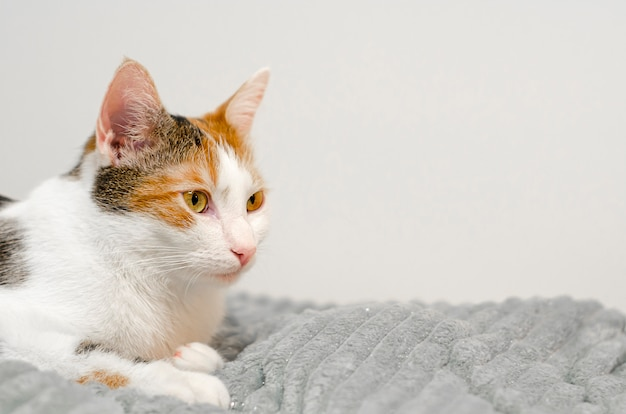 Chat tricolore s'endort sur le lit, plaid gris.