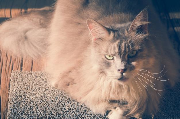 Chat avec le visage en colère