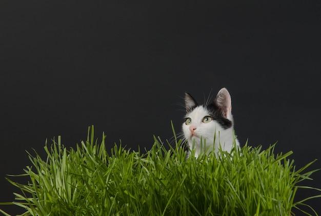 Le chaton au germe de blé