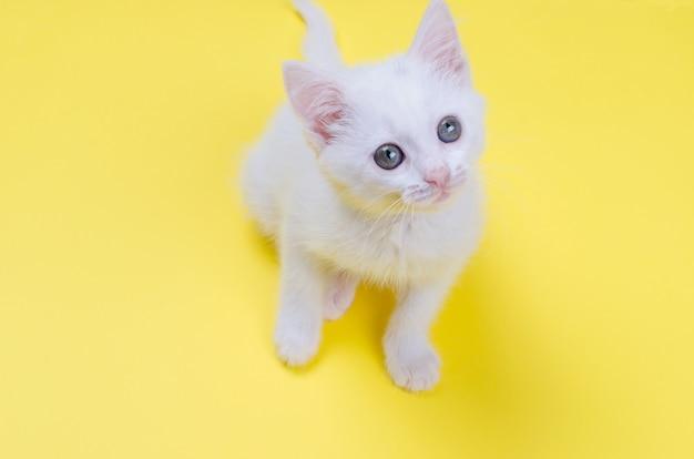 Chaton blanc sur un fond jaune