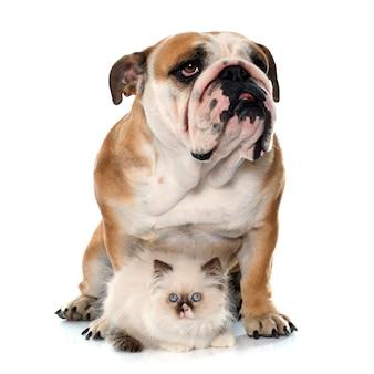 Chaton britannique à poil long et bulldog anglais