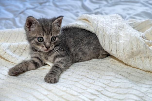 Chaton british shorthair à rayures mignon allongé sur une couverture blanche