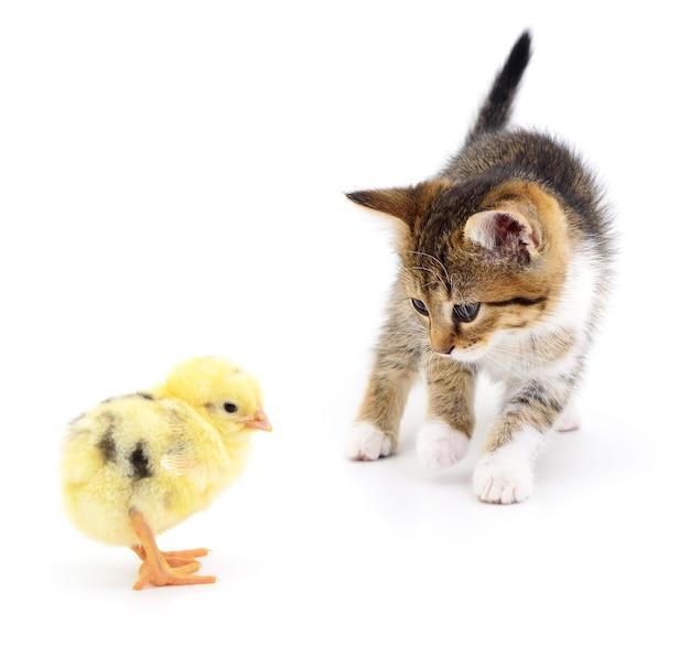 Chaton brun et poulet sur fond blanc.