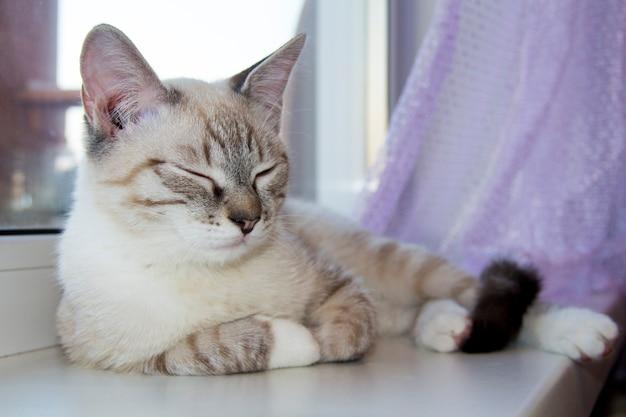 Chaton clair dormant sur le rebord de la fenêtre. chat mignon dormant sur le rebord de la fenêtre agrandi.