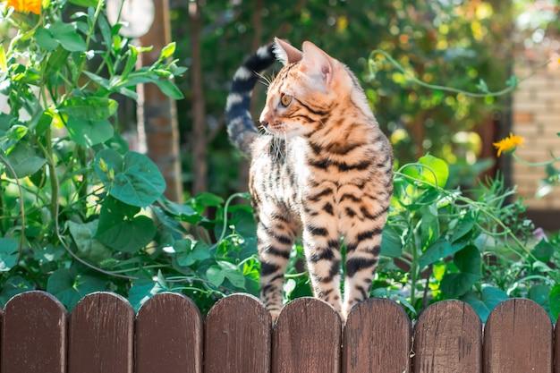 Chaton du bengale seul à l'extérieur sur une clôture en bois