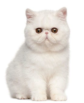 Chaton exotic shorthair (4 mois), chaton exotic shorthair