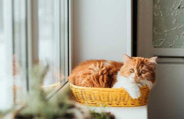 Chaton de gingembre moelleux est assis sur le rebord de la fenêtre. plantes d'intérieur sur le rebord de la fenêtre et chaton au gingembre.