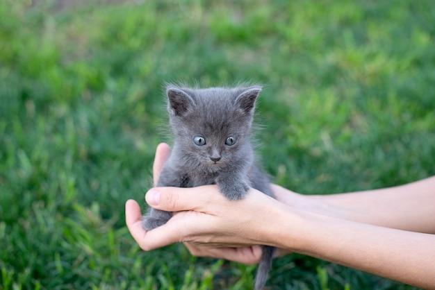 Chaton gris âgé d'un mois en mains. chat et pelouse verte