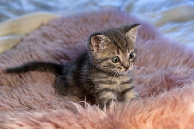 Chaton gris british shorthair se dresse sur une couverture rose