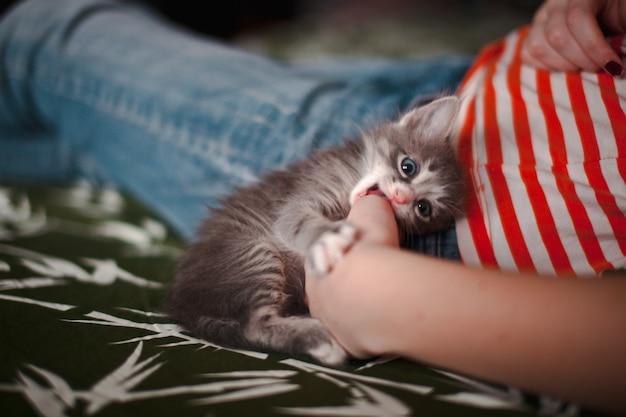 Chaton gris, entre les mains d'une fille