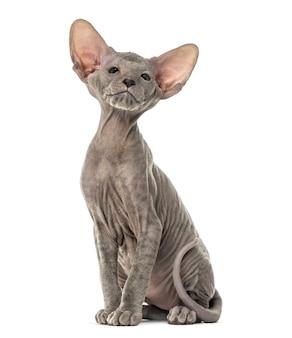 Chaton lykoi cat, également appelé le chat loup-garou