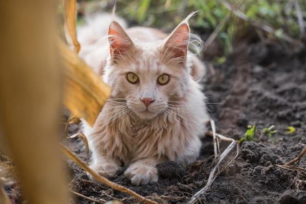 Un chaton maine coon au gingembre espiègle se trouve à l'extérieur. grand chat rouge dans le jardin
