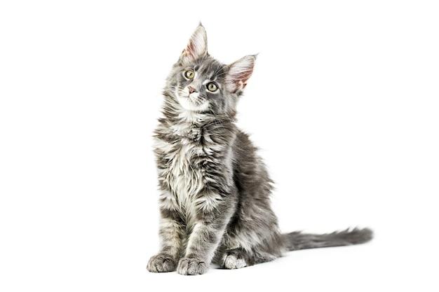 Chaton maine coon, isolé. chat mignon maine-coon. petit chat drôle de race, couleur grise