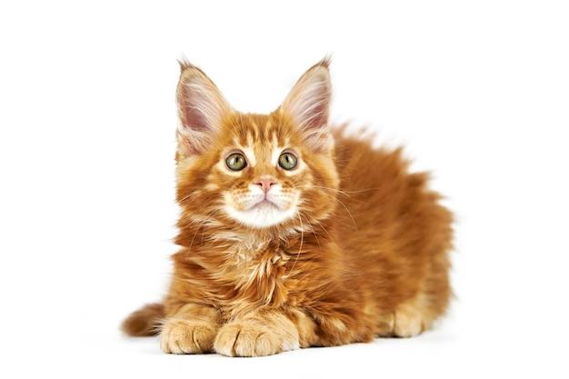 Chaton maine coon rouge, isolé. chat mignon maine-coon. petit chat de race drôle de couleur rouge