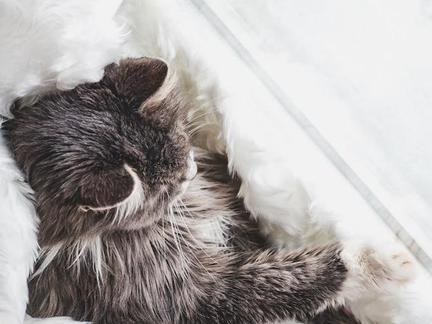 Chaton mignon, dormant sur un plaid blanc